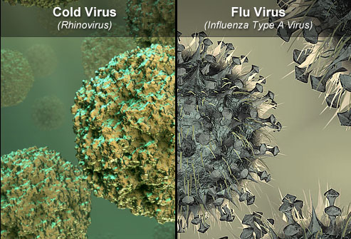 cold vs flu virus